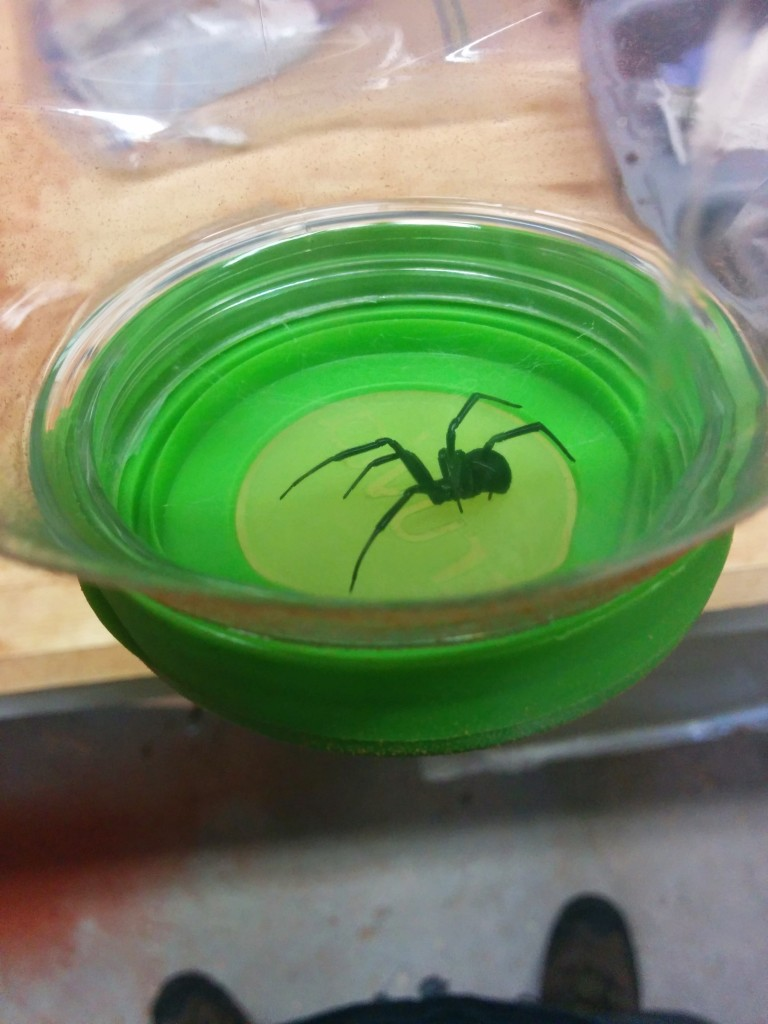 My pet black widow I caught in my workshop as I was working.